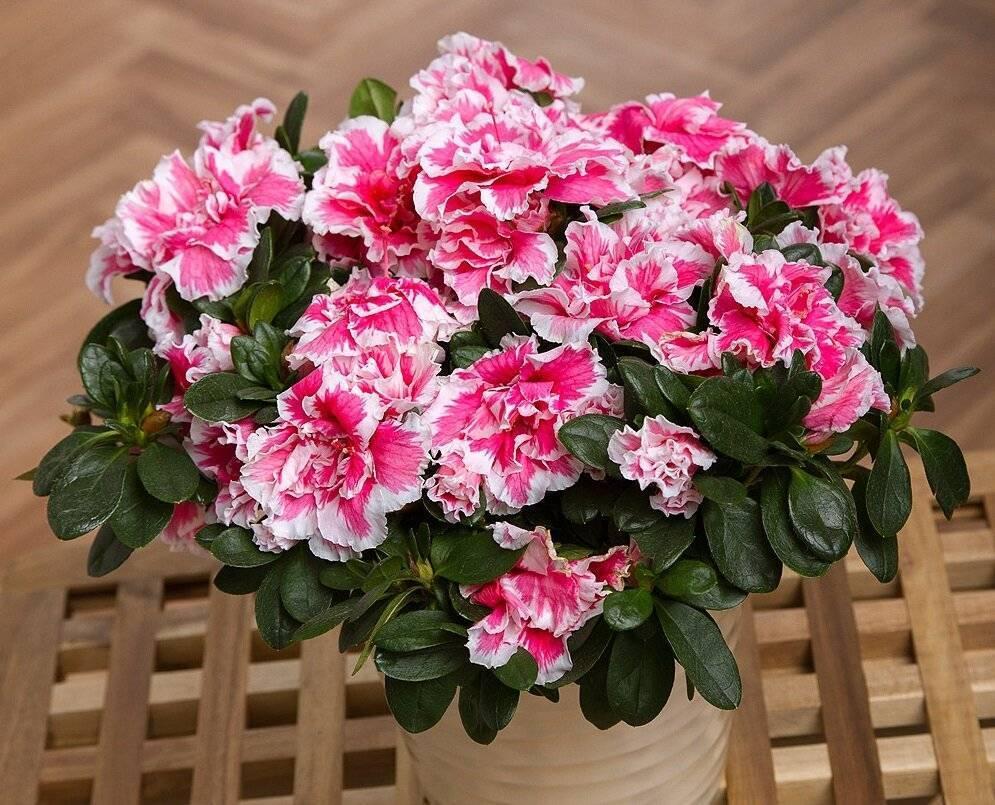 Азалия цветение в домашних условиях уход, обрезка, пересадка