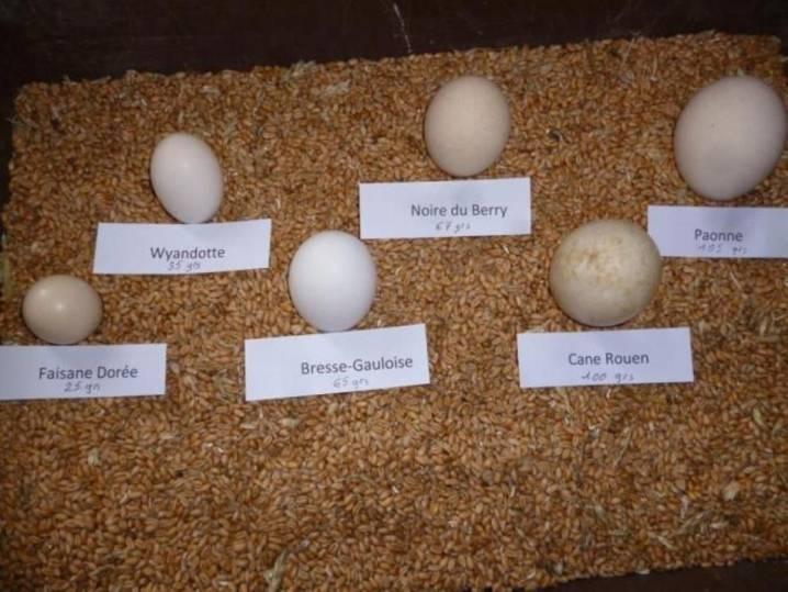 Бресс галльская порода кур - описание и отзывы