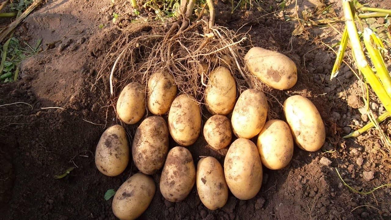 Картофель романо: посадка и характеристики семенного сорта