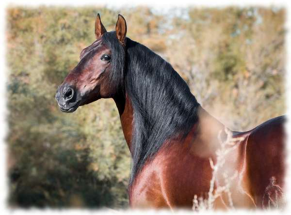 Андалузская порода лошадей: фото, описание