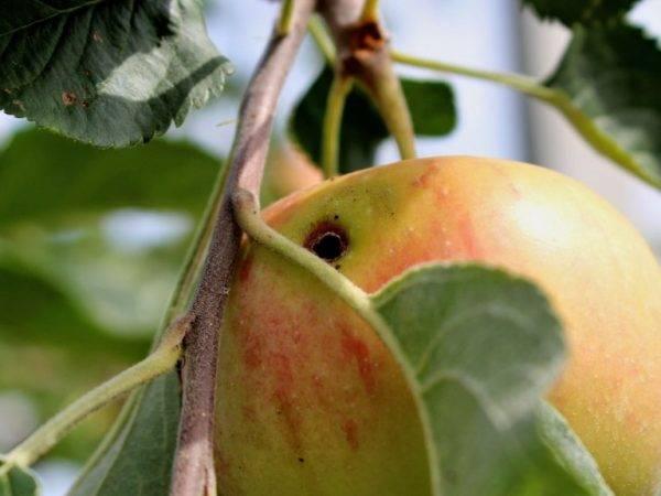 Меры борьбы с плодожоркой (яблоневой, сливовой и др): народные и химические способы