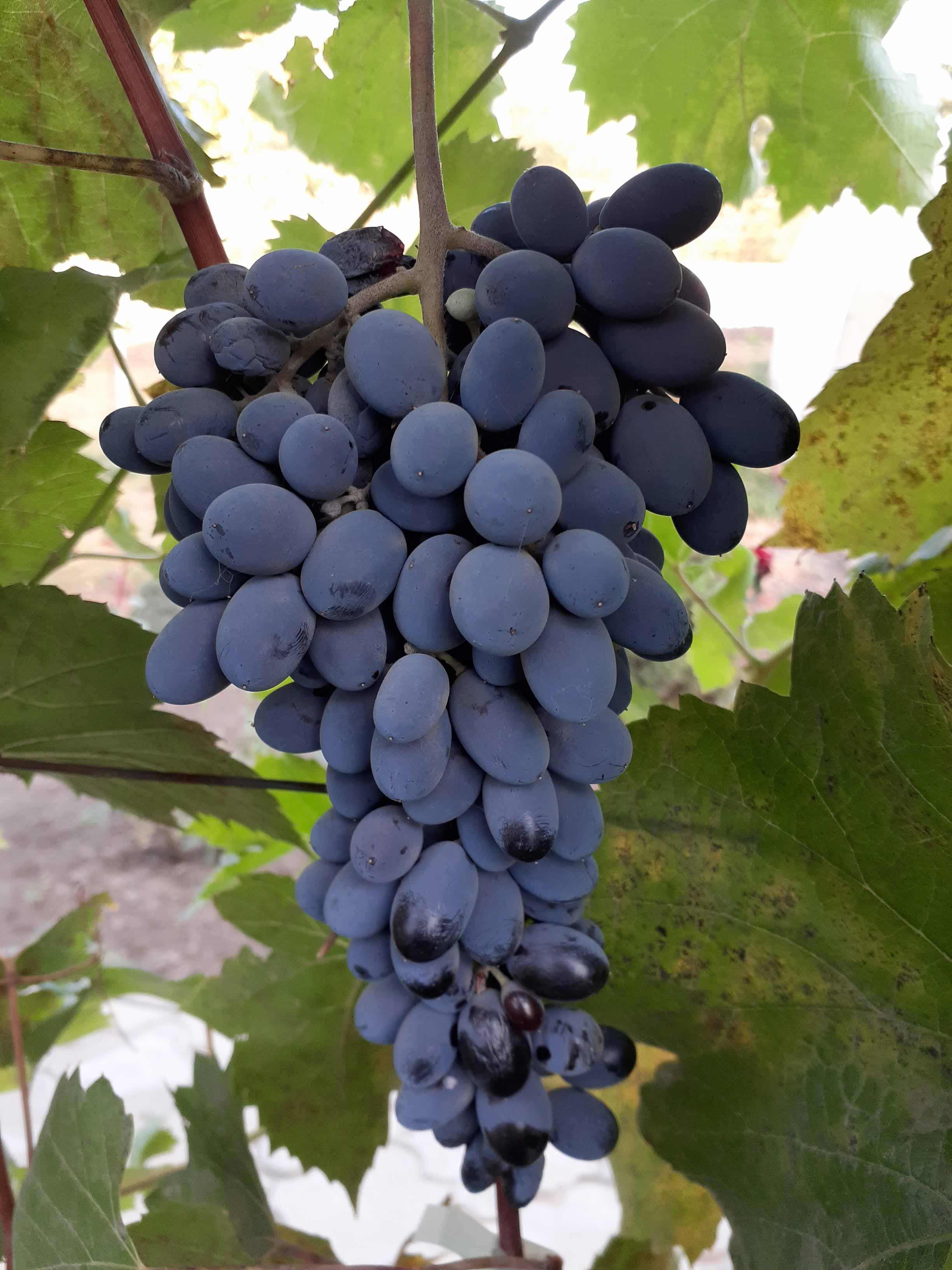 Универсальный сорт с отличным вкусом —  виноград «кишмиш юпитер»