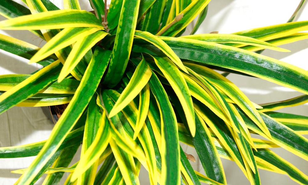 Цветок драцена сандера — посадка и уход