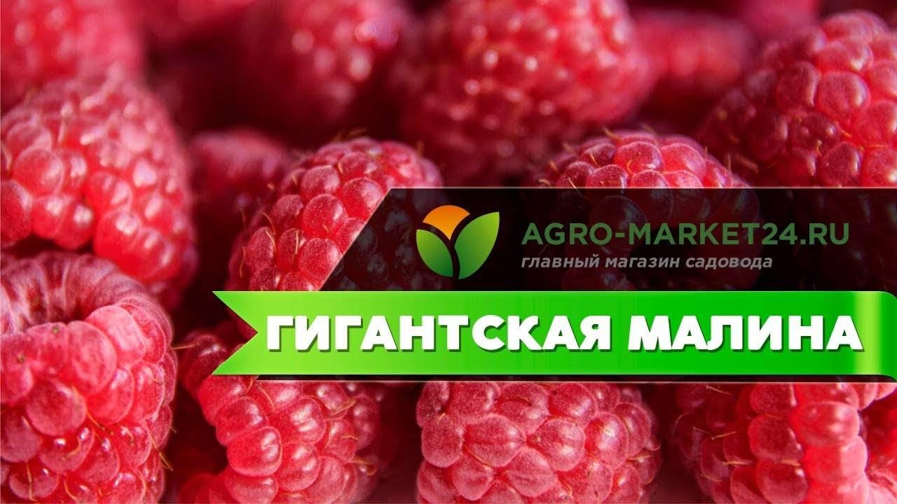 Логанберри — один из малино–ежевичных гибридов. выращивание и уход. размножение. сорта, фото — ботаничка.ru