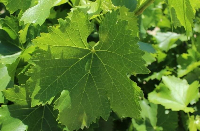Чем полезен виноград: свойства, влияние на организм, вред и особенности винограда (130 фото)