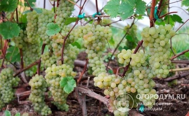 ᐉ находка азос - сорт винограда - roza-zanoza.ru