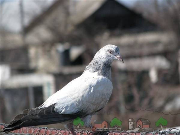 Николаевская порода голубей. её преимущества