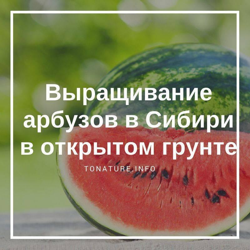 Особенности выращивания арбузов в сибири: полезные рекомендации для получения хорошего урожая