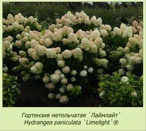 Гортензия лаймлайт: посадка и уход, особенности выращивания сорта