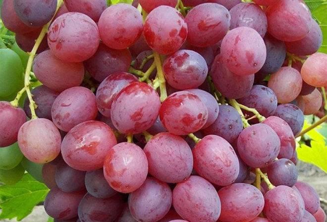Сорт винограда кишмиш лучистый: описание, фото