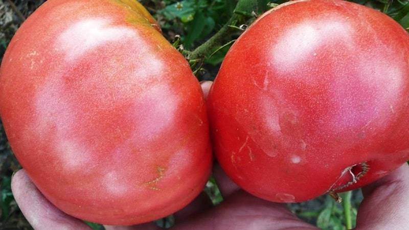 Томат гигант: отзывы, фото, урожайность, описание и характеристика | tomatland.ru