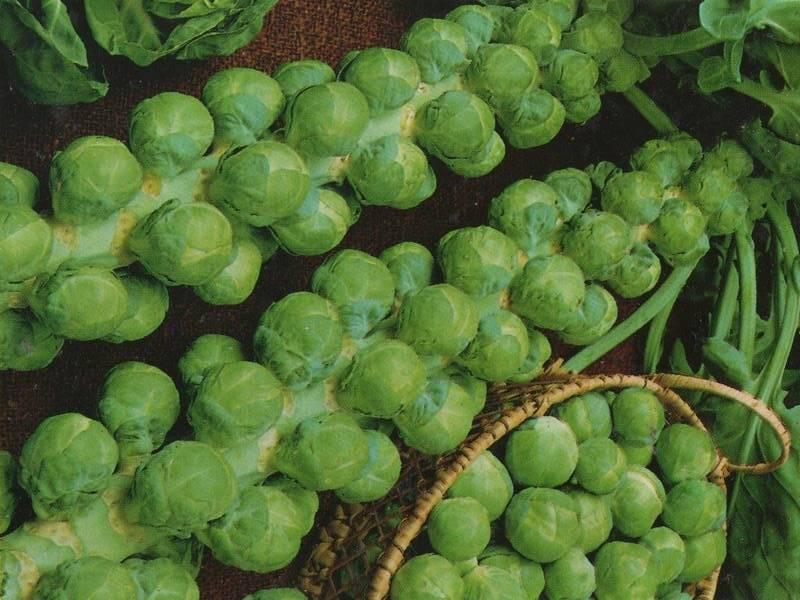 Почему в салате горчит свежая белокочанная капуста: 8 популярных причин [+2 рецепта] | все очень просто