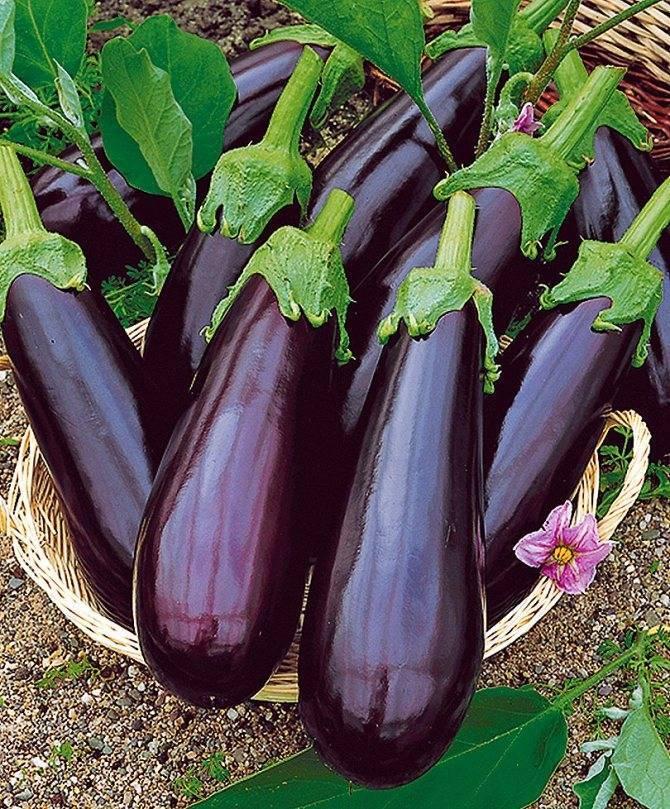 Лучшие сорта баклажанов: ранние, вкусные, урожайные, без горечи, для открытого грунта, теплицы, для сибири, урала, подмосковья, отзывы