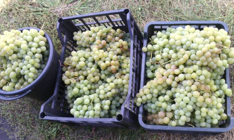 Виноград дарья: описание и характеристики сорта, особенности ухода и фото