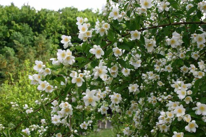 Размножение жасмина черенками весной - всё о цветах