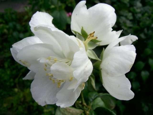 ✅ жасмин голоцветковый, выращивание в открытом грунте: посадка и уход, преимущества и недостатки сорта, фото - tehnoyug.com