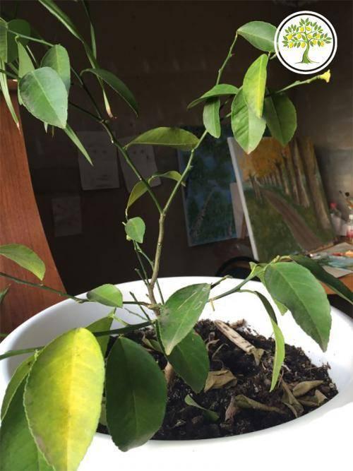 У лимона опали листья: почему комнатное растение сбросило все свои органы для фотосинтеза, что делать и как оживить его?дача эксперт