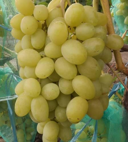 Виноград ландыш: описание сорта