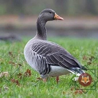 Гусь гуменник: описание породы, места обитания птицы