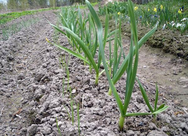 Грамотное выращивание чеснока как бизнес: рентабельность, планы и технологии культивирования
