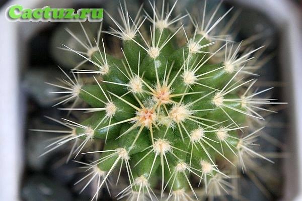 Виды кактуса. кактусы комнатные: названия, фото