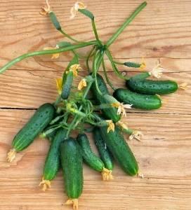 Лучшие сорта огурцов с пучковой завязью: особенности сортов и выращивания