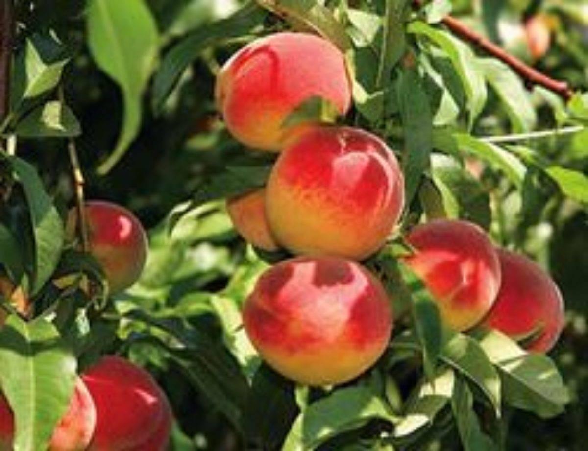 Сорт персика Редхейвен: подробное описание