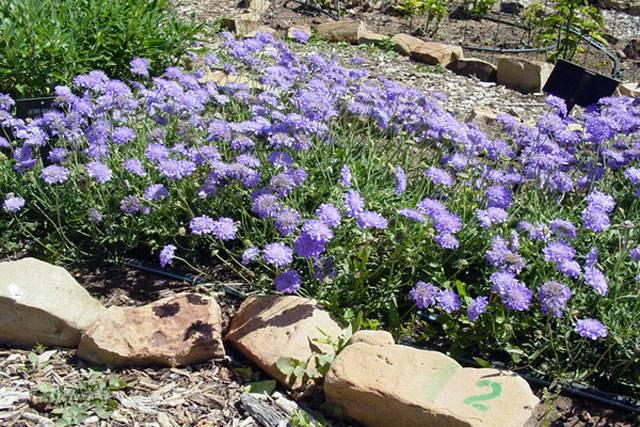 Скабиоза - посадка и уход в открытом грунте