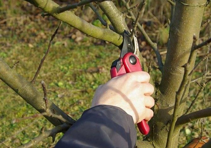 Как правильно обрезать яблони осенью: советы и видео о том, как омолодить старую яблоню