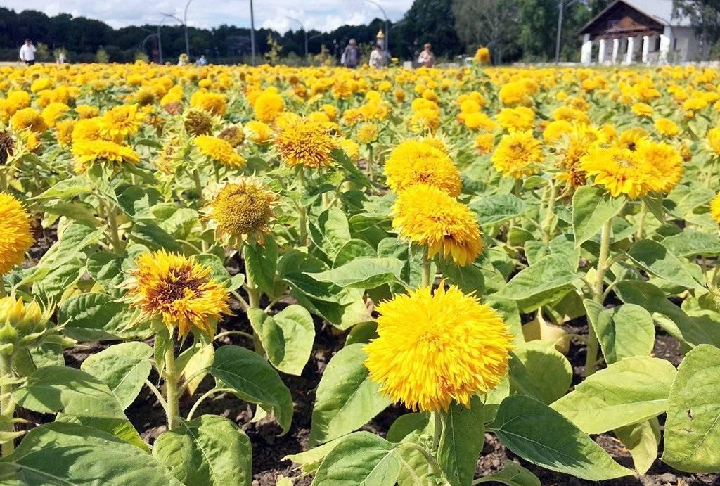 Подсолнечник: выращивание на огороде