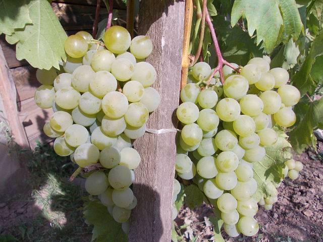 Виноград дружба описание сорта фото отзывы - скороспел