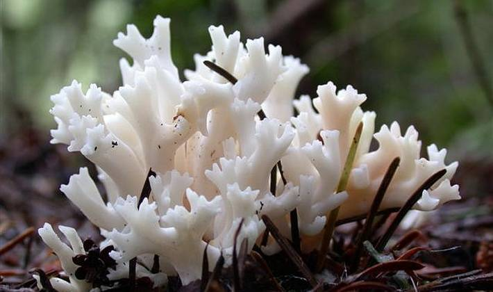 Это не водоросли, это коралловые грибы!