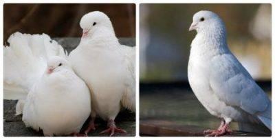 Чем кормить птенцов голубя в домашних условиях
