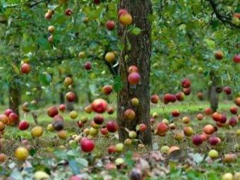 Яблонная плодожорка: как бороться с вредителем, видео и фото