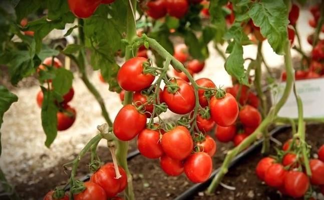 Томат аделина: характеристика и описание, отзывы, фото, урожайность сорта