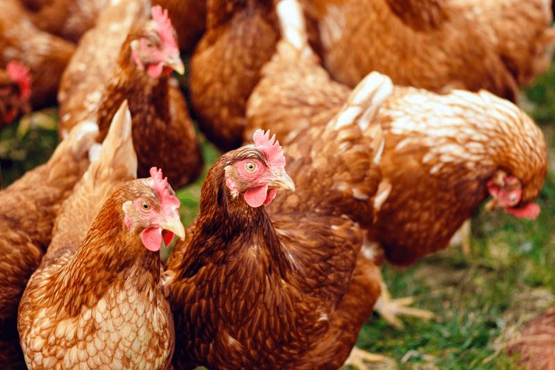 Разведение кур-несушек, насколько это выгодно или нет, приблизительный бизнес-план по разведению кур