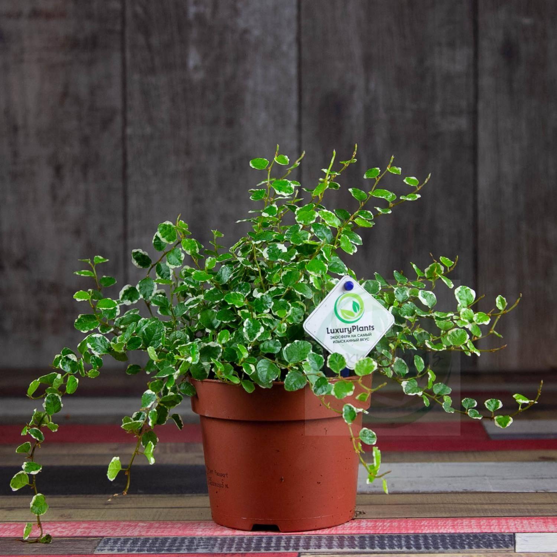 Особенности и выращивание фикуса «пумила уайт санни»