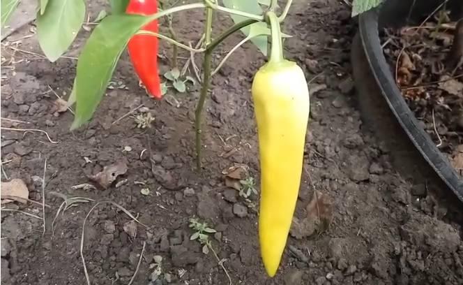 Обзор сортов желтого перца и особенности выращивания
