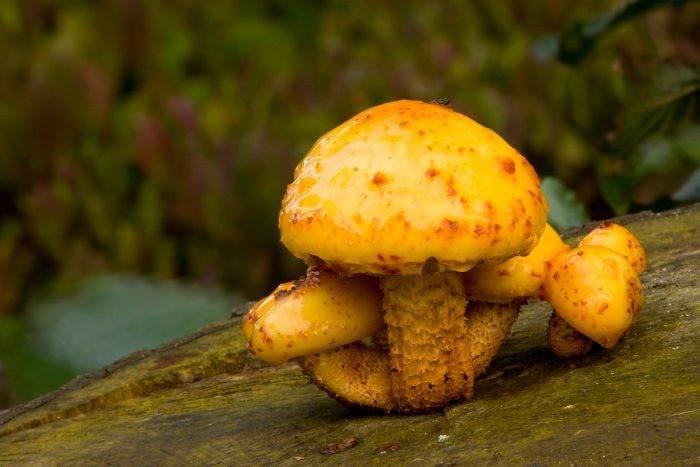 Чешуйчатка чешуйчатая – «колючий» грибок