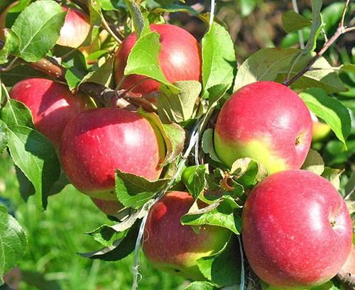 Колоновидные яблони для ленинградской области: сорта, отзывы, фото