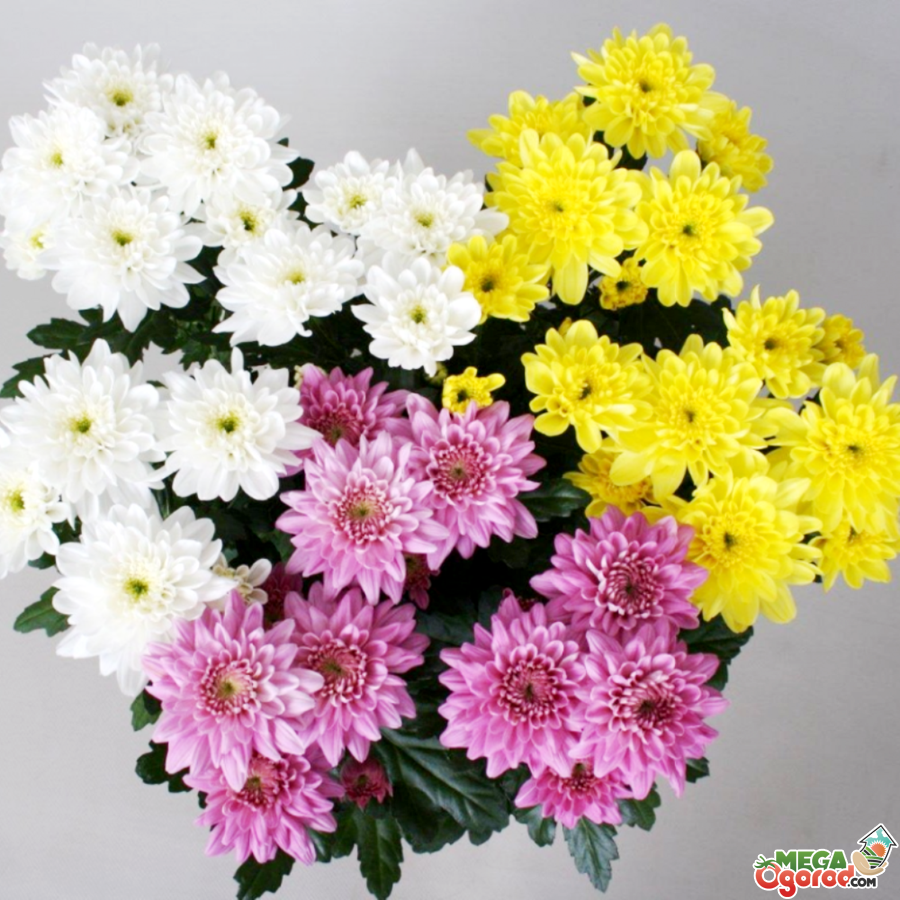 Уход за хризантемами осенью и подготовка растения к зиме