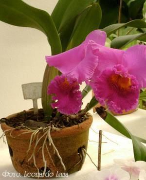 Цветок орхидея родина растения. родина комнатных орхидей, основные секреты ухода за ними