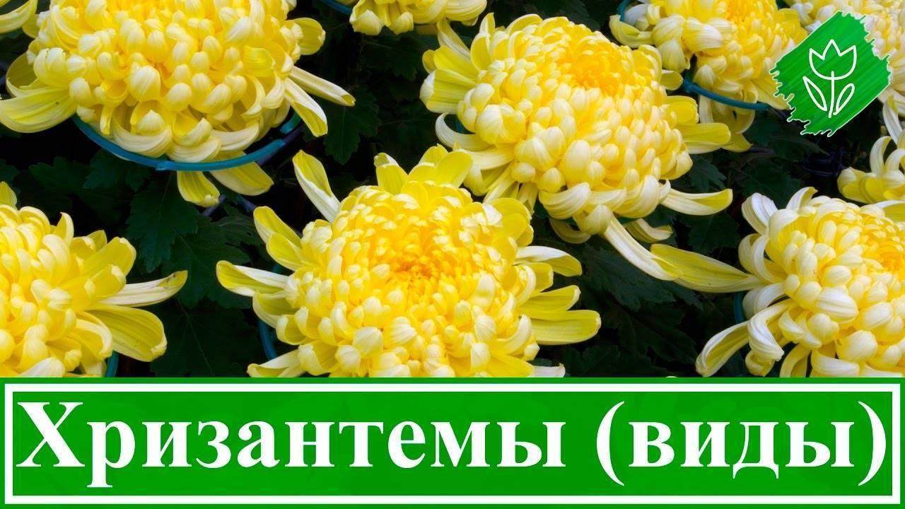 Хризантемы многолетние в открытом грунте - с фото