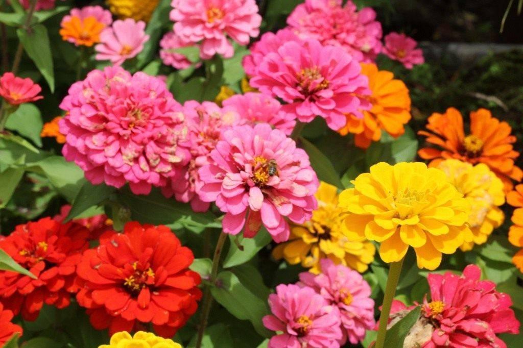 Каталог однолетних цветов для дачи - неприхотливые однолетники, цветущие всё лето, с фото и названиями