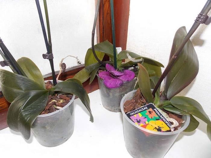 Почему у орхидеи вялые листья и что делать, если они пожухли: фото и видео о лечении болезни