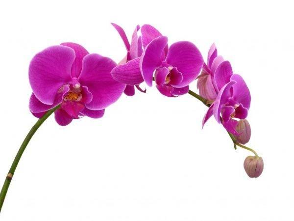 Фаленопсис каода твинкл: фото и описание орхидеи