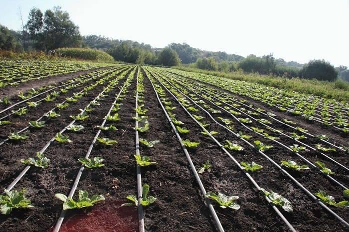 Как садить капусту семенами в грунт - советы огородников