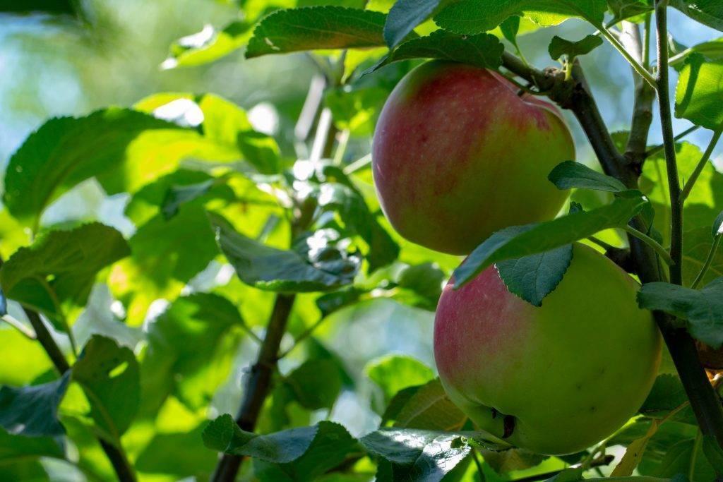 Лучшие сорта яблони для урала: фото, отзывы, описание