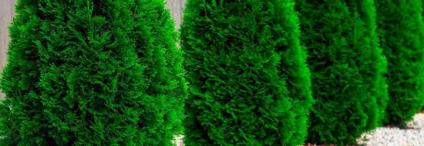 Туя западная «даника» (27 фото): описание сорта, посадка и уход в открытом грунте, использование шаровидного дерева в ландшафтном дизайне, размеры взрослого растения