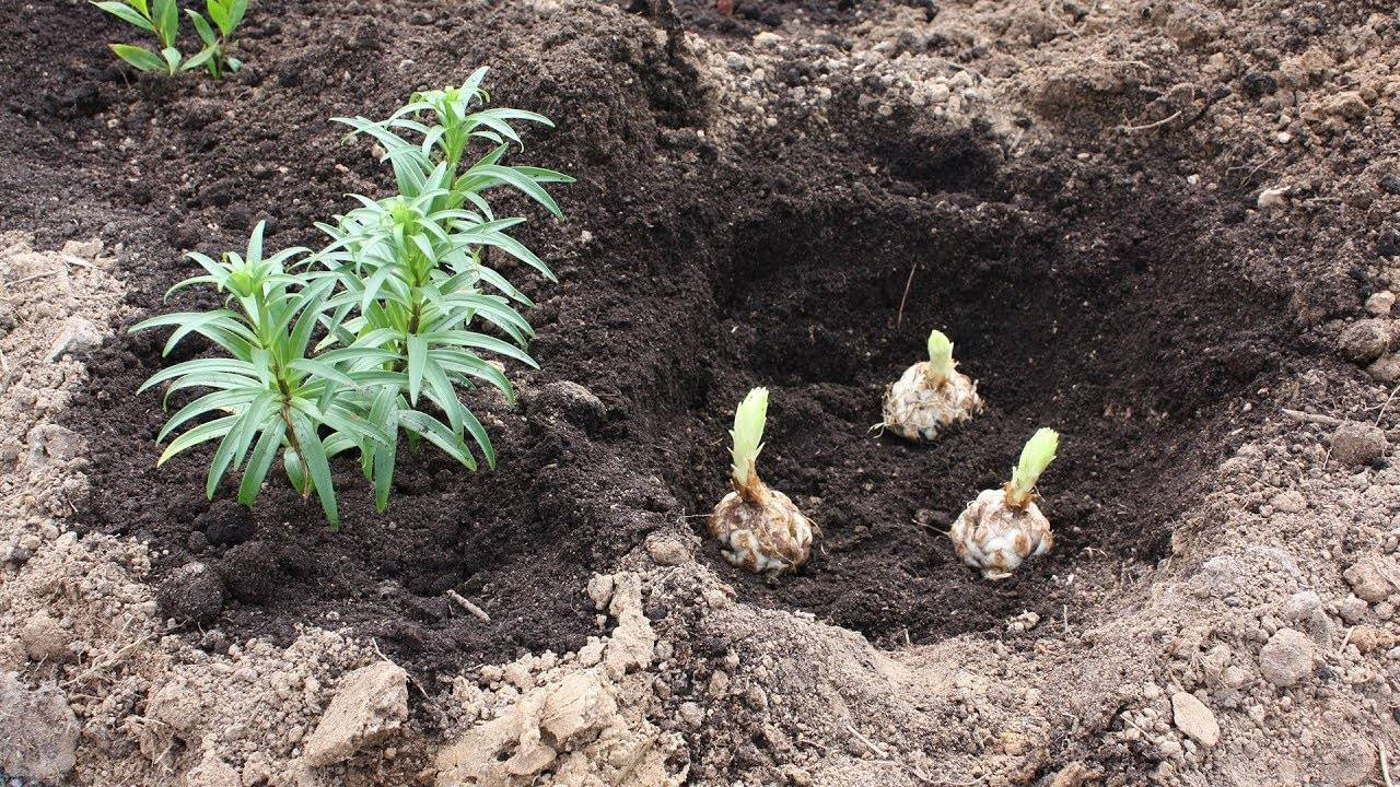 Посадка луковиц лилий с ростками в весенний период